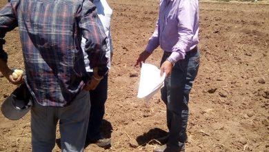 """صورة """"الزراعة"""" تطلق مشروعا لانتاج هجن الذرة الرفيعة البيضاء"""